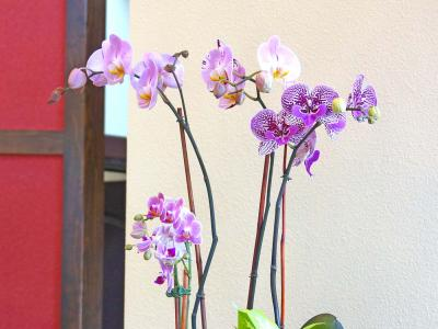 Living orchid phalaenopsis arrangement Professional Plants and Petals interior plantscaping