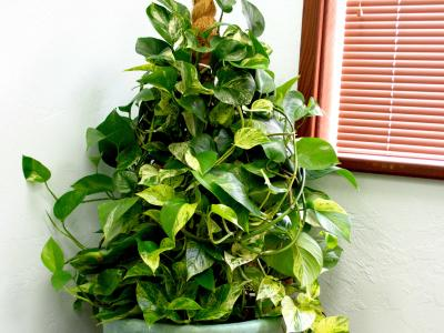 air purifying office plant, climbing pothos maintained by Orchids for the People