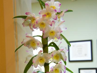 Dendrobium Nobile Interior plantscaping by Orchids for the People
