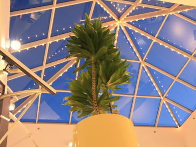 looking skyward tall dracaena business plants Professional Plants and Petals service