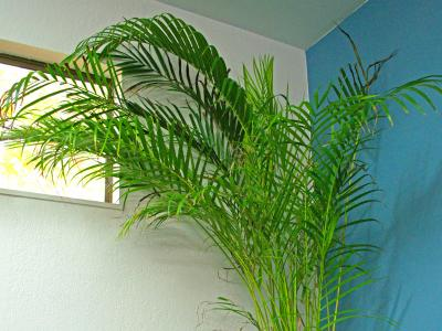 Inside plants cleaning the air and reducing office stress, areca palm cared for by Orchids for the People