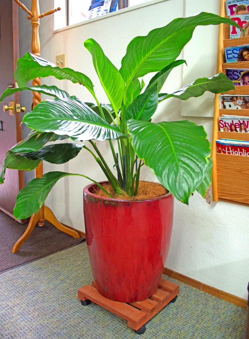 Business plants large-leafed spathiphyllum cared for by orchids for the people