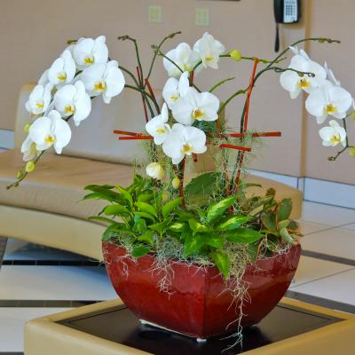 5 white phalaenopsis orchid living arrangement with peperomia and diffenbachia plants with airplants and spanish moss