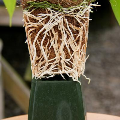 Orchid root growth 8 months after repotted into long-strand coconut fiber