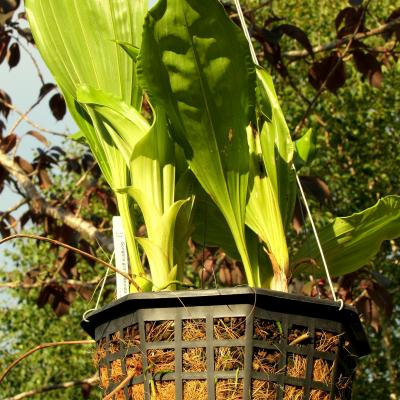 Orchid roots and spikes penetrate coconut fiber easily in hanging baskets