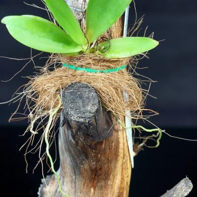 Long-strand coconut fibers protect roots on mounted orchids