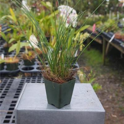 Dendrochilum williamsii