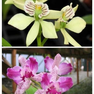 Cat interglossa x Encyclia radiata