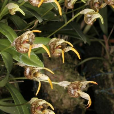 Masdevallia dynastes multiple flowers