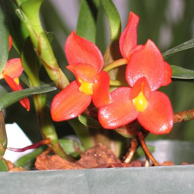 cool growing Maxillaria sophronitis flower closeup