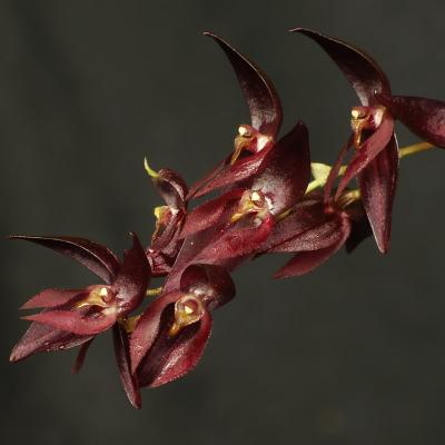 Pleurothallis rowleei flower close up